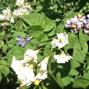 Картошки разной буйное цветенье...