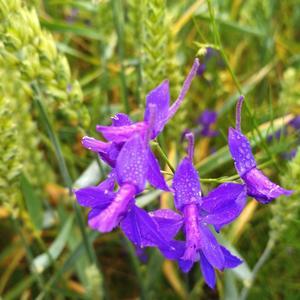 Цветы на пшеничном поле