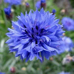 Он синей небесной сини, полевой простой цветок...