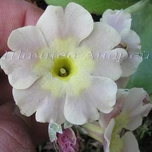 Primula auricula (P. x pubescens) Примула ушковая гибридная Сеянец №3 (кремовая с бежевой подложкой)
