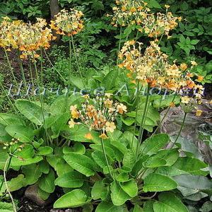 Примула Флоринды (Primula florindae) оранжевая