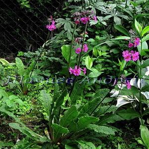 Примула буллесиана (природный гибрид п.Биса х п.Буллея) лиловая (Primula bullesiana)