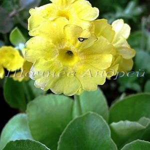Primula auricula (P. x pubescens) Примула ушковая гибридная №40 (желтая плоская)