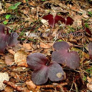 Печеночница благородная Hepatica nobilis (с бордовым листом во второй половине лета)