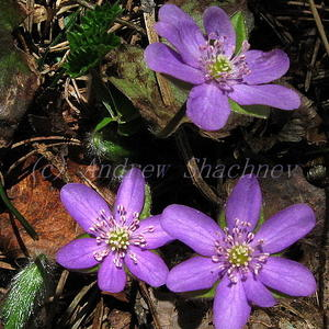 Hepatica nobilis - Печеночница благородная (средне-сиреневая)