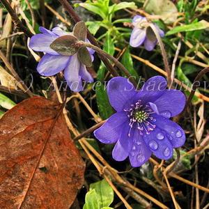 Hepatica nobilis - Печеночница благородная (синяя крупная многолепестковая) )