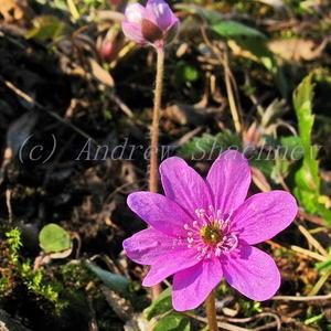 Hepatica nobilis - Печеночница благородная (ярко-розовая крупная многолепестковая)