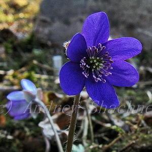 Hepatica nobilis - Печеночница благородная (темно-синяя)