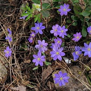 """Печеночница благородная (Hepatica nobilis) """"синяя"""""""