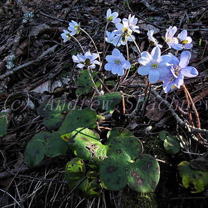 """Печеночница благородная (Hepatica nobilis) """"бело-голубая"""""""