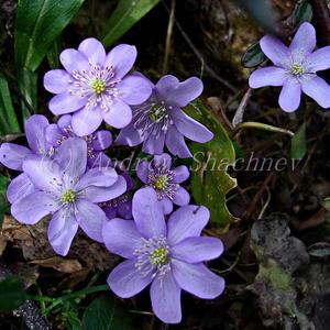 Hepatica nobilis - Печеночница благородная (светло-сиреневая)