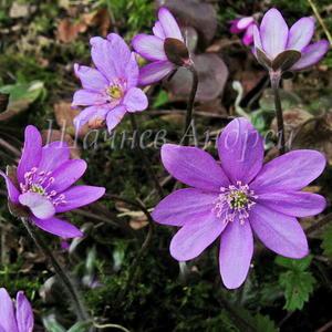 Hepatica nobilis - Печеночница благородная (средне-лиловая)