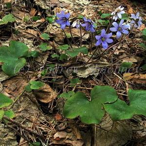 """Печеночница благородная (Hepatica nobilis) """"голубая"""""""