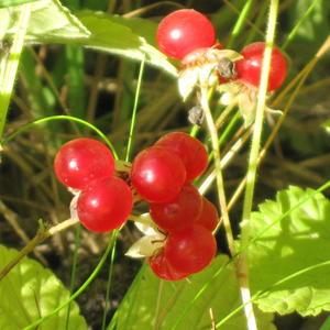 Костяника - ягодка лесная