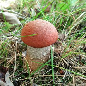 Крепыш-красноголовик