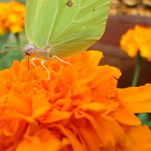 Бархатец и бабочка