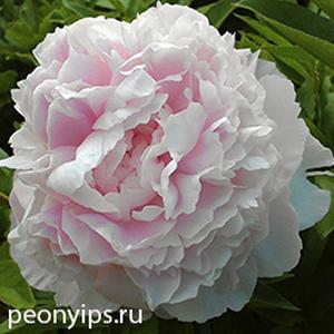 Пион молочноцветковый Dresden Pink (Дрезден пинк)