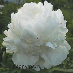 Пион молочноцветковый Corinne Wersan (Корина Версан)