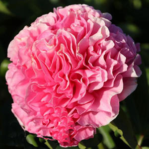 Пион гибрид американский Carnation Bouquet (Корнейшен Букет)