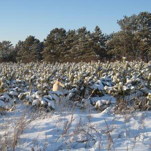 Сосновый детский сад под теплым снежным одеялом