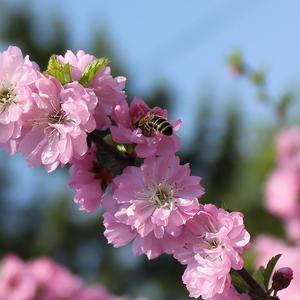 И первую пыльцу весной с сакуры спешит пчела для нас собрать