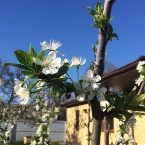 Слива цветёт :) 16 апреля 2018