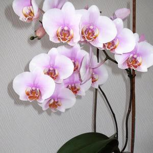 Фаленопсис в декабре цветет