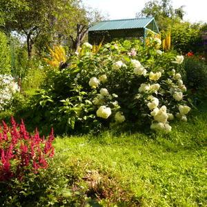 Очарование цветущей гортензии