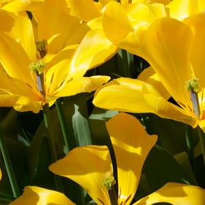 Желтые бабочки