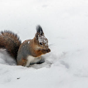 Снежная белка