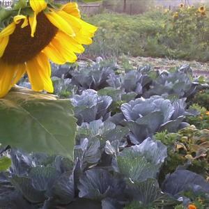 Дополнительное солнышко для капусты...