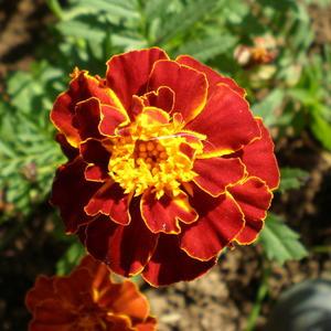Красный-рыжий-желтый
