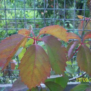 Листья девичьего винограда начинают осенний парад
