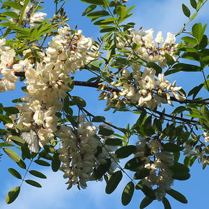 Цветет белая акация