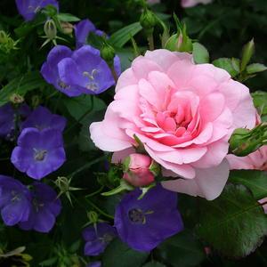 Роза в колокольчиках