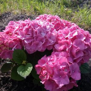 Гортензия. Подарок моему саду от друзей