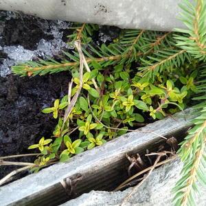 Чабрец лимонный выглядывает из-под укрытия. Пора пить чай с новым урожаем!