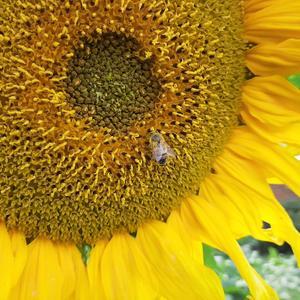 Самый солнечный цветок!