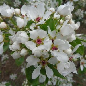 Груши цвет