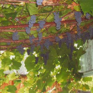 Виноград на Нижегородчине