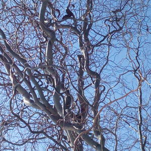 Кудрявое дерево