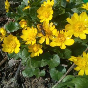 Частяк весенний - его цветы, как маленькие солнышки