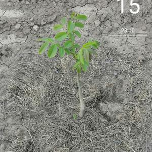 Грецкий орех скороплодный Левина 1 год