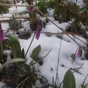 Кандык в снегу на Бащелакском хребте