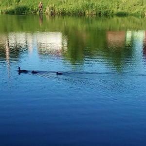 Утка-мама учит плавать утят