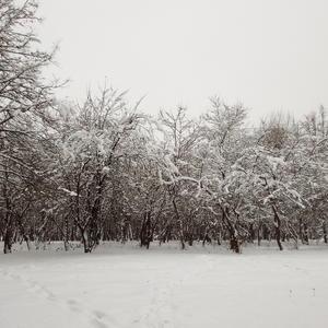Яблони в снегу...