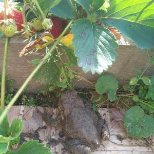 Жаба, любительница полакомиться клубничкой