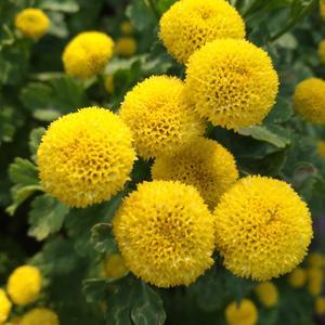 Маленькие солнышки хризантемы