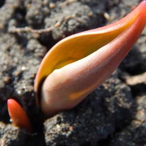 Эта ладья тюльпаном станет - вот-вот во всей красе предстанет!