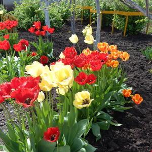 Весенняя феерия!Тюльпаны моей подруги